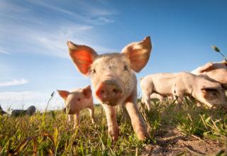 Nieuwsbericht - Saneringsregeling varkenshouderij